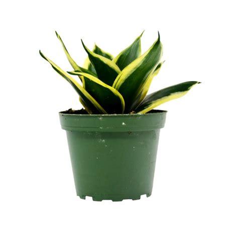 buy sansevieria trifasciata small snake plant