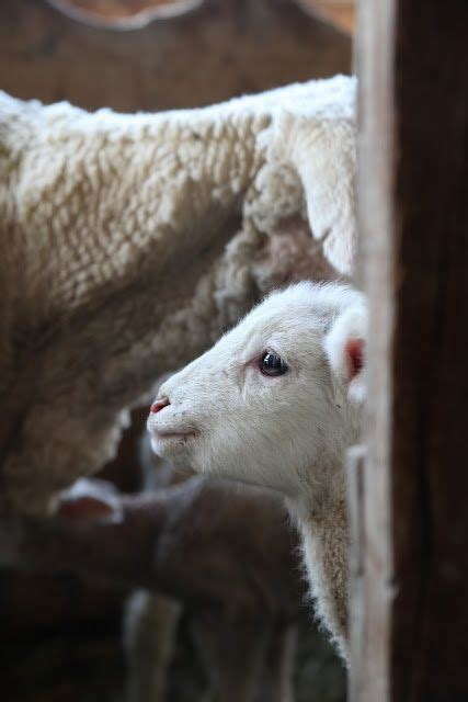 the l by lambs 390 best images about sheep and lambs on