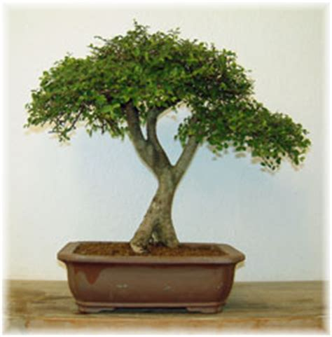 Pflege Bonsai Bäumen 2185 bonsai garten wolf tunnat