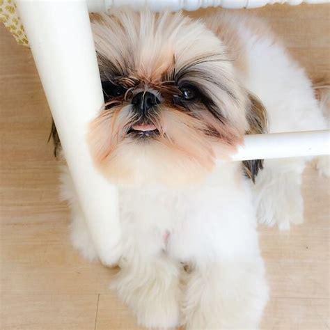 shih tzu hanging 1000 ideias sobre tosador de cachorro no cuidados o pet poodles e
