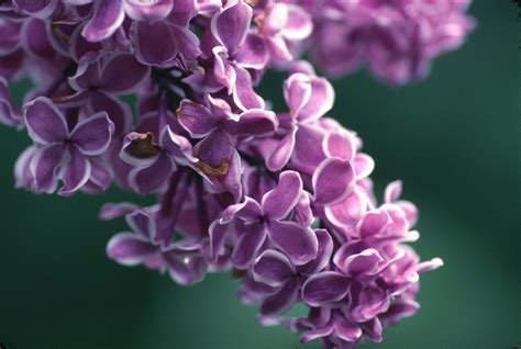 lilac flower meaning serena legitimate baby names