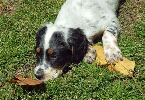 luellen setter dog available puppies east coast llewellin setters