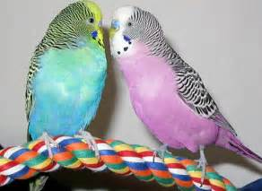 budgie colors budgerigar parakeet popular cage parrot animal
