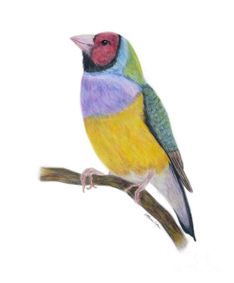 Drawing N Painting by Gouldian Finch Colored Pencils Painting By Olga Hamilton