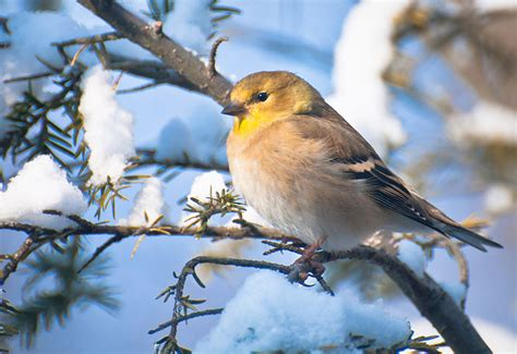 featured birds american goldfinches