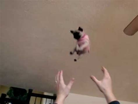 the flying pug flying jelly pug