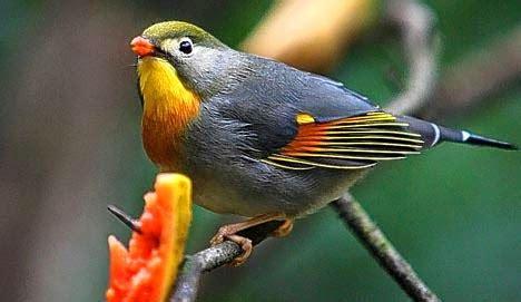 daftar harga burung robin terbaru  tips merawat