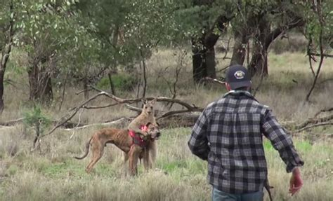 punches kangaroo to save a punch a kangaroo to save his
