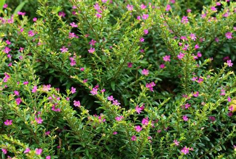shrub with small pink flowers county master gardener association 2015 aug 02