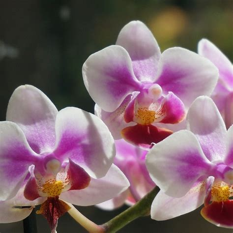 coltivazione orchidee in vaso orchidee come coltivare la phalaenopsis