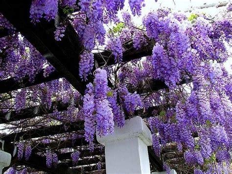 glicine fiori glicine wisteria wisteria ricanti glicine