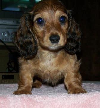 dachshund puppies for adoption dachshund dogs for adoption related keywords dachshund dogs for adoption