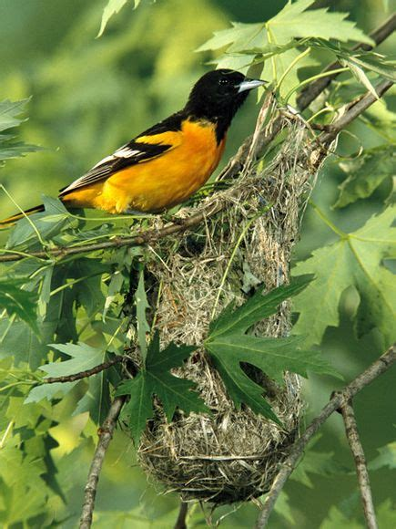 baltimore oriole nests hummingbirds and eggs