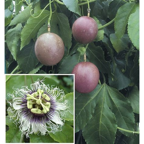passion flower possum purple passiflora edulis