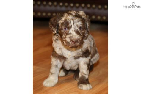 aussiedoodle puppies for sale near me aussiedoodle puppy for sale near richmond virginia 9833944a 3941