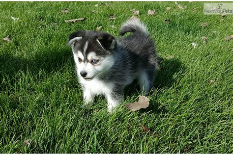 puppies for sale nebraska dogs small breeds popular breeds just breeds extinct breeds picture