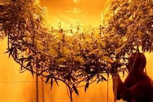 grow le dix types de scrog pour laisser tout le potentiel des
