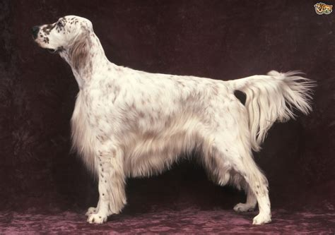 llewellin setter dog size english setter dog breed information buying advice