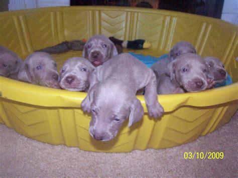 weimaraner puppies for sale in florida weimaraner puppy 3950