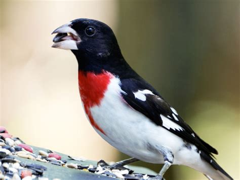 rose breasted grosbeak wild delightwild delight