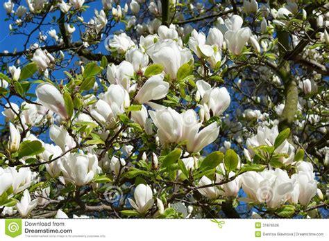 imagenes de magnolias blancas flores blancas hermosas de la magnolia foto de archivo