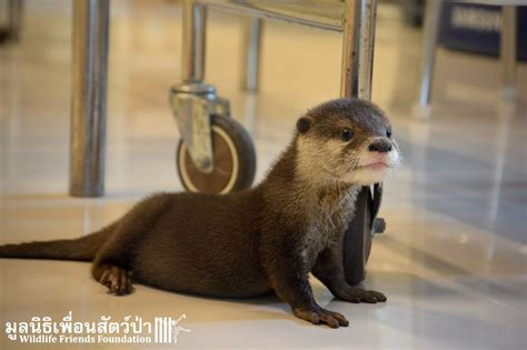 rescued baby otter     excited  mealtime
