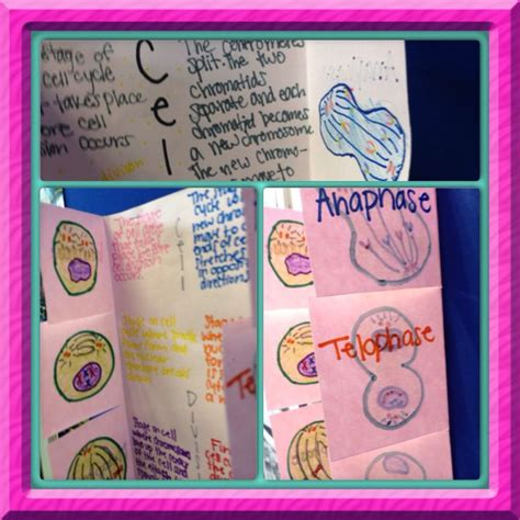 mitosis flip book pictures mitosis flip book students write the steps on the outside