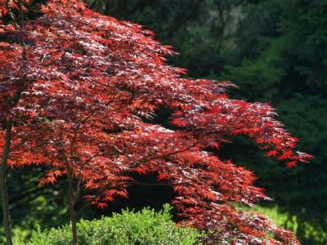 70 best images about deciduous trees shrubs on pinterest