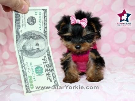 teacup yorkie puppies for sale in las vegas nv excellent teacup yorkie puppies for free adoption breeds picture