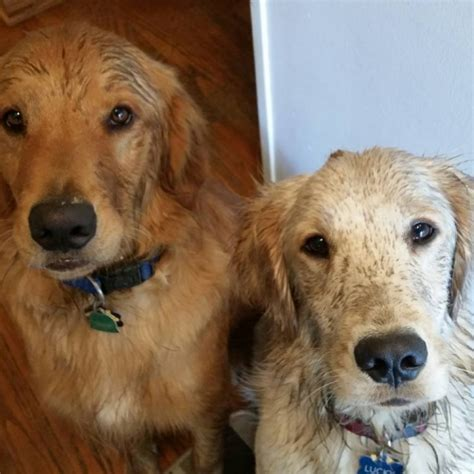 how often should i give my golden retriever a bath home grrace inc