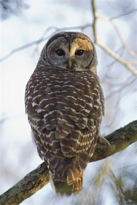 barred owl birdgenie