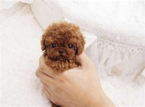 lifespan of teacup poodle best 25 teacup poodle puppies ideas on