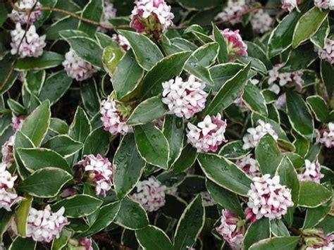 variegated shrub with pink flowers variegated winter fragrant aureo marginata