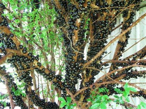 Bibit Pohon Anggur Brazil anggur pohon jaboticaba gudang bibit gudang bibit