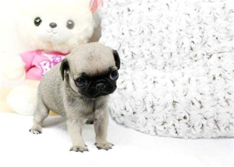 tea cup pug teacup pug animals teacup pug and pug