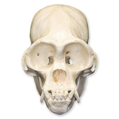 replica woolly spider monkey skull  sale skulls