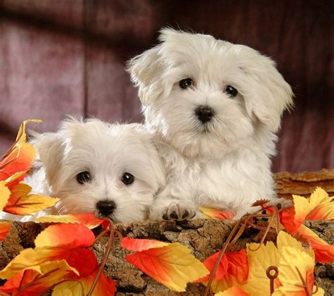 sweet puppies small puppy breeds picture