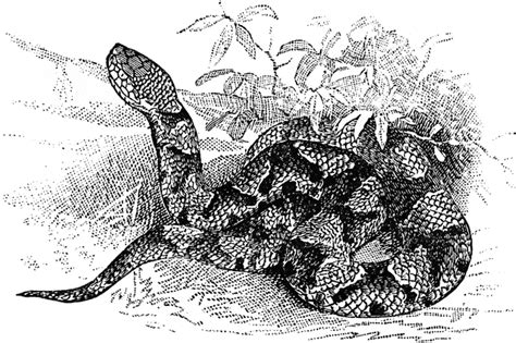 copperhead snake coloring page copperhead clipart etc