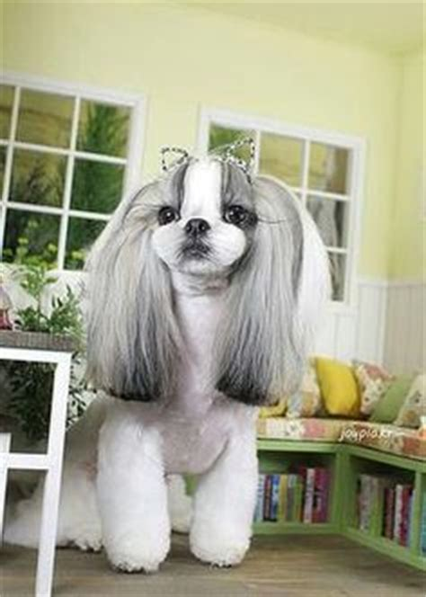 shipoo must be shaved for mats will her beautiful fur grow back com asian style grooming shih tzu the top lip looks shaved