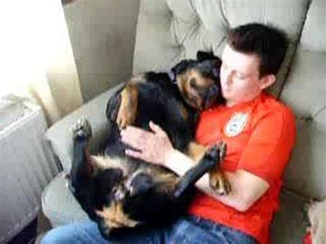 rottweiler grown fully grown rottweiler think he s still a baby and it s as hell just s