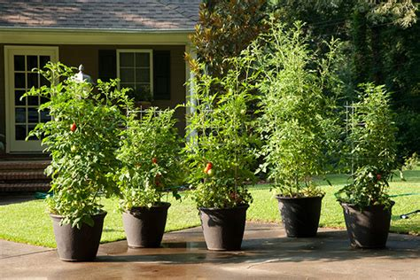 How to Grow Tomatoes in a Pot   11 Tips