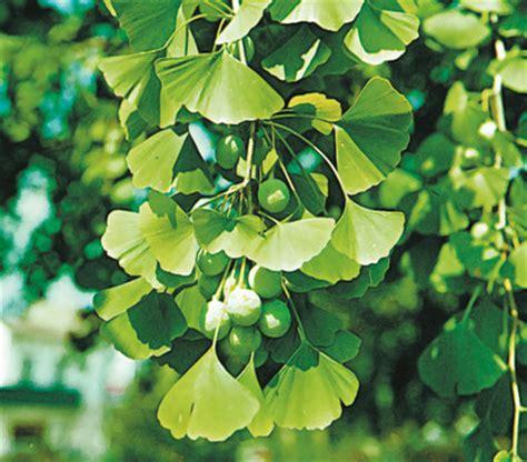Bäume Richtig Schneiden 4652 by Ginkgo Baum Kaufen Gartentraum Flessau F Cherblattbaum