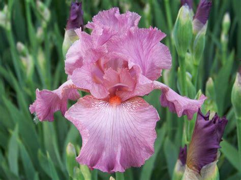bearded iris world of irises bearded iris my favorite pinks part two