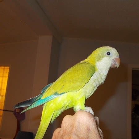 quaker parrot 129318 for sale in willow spring nc