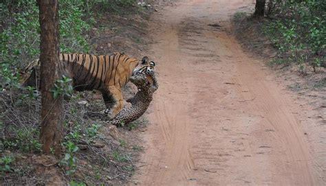 libro minicuentos de tigres y tigre vs leopardo 191 qui 233 n gan 243 esta batalla de felinos en la india vida animal fotos