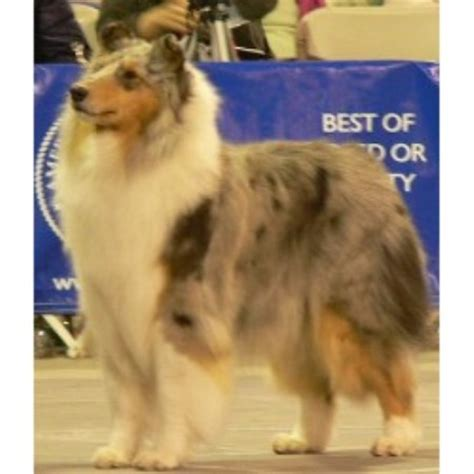 collie puppies for sale in ohio smooth collie puppies for sale in ohio breeds picture