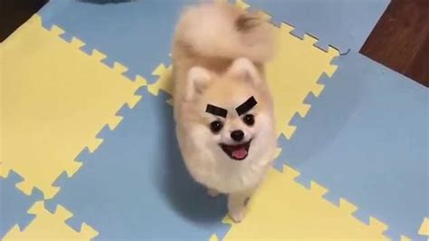 dogs with eyebrows dogs with eyebrows on a pomeranian puppy