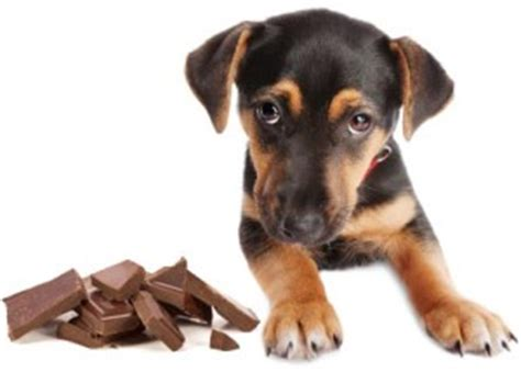 can dogs chocolate can dogs eat chocolate can dogs eat this