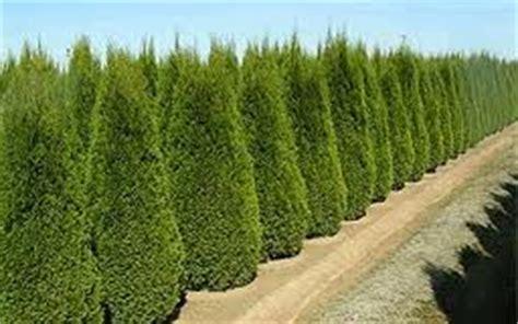 Thuja Smaragd Wachstum 3328 by Thuja Occidentalis Smaragd Lebensbaum Smaragd Green4living