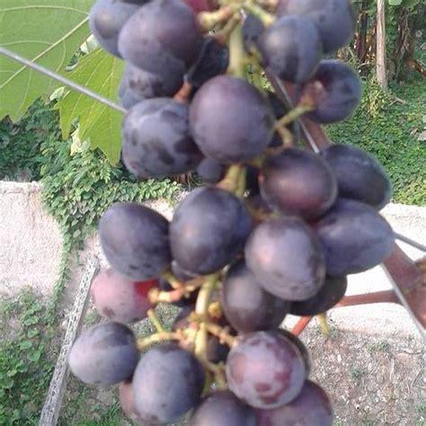 Vit B1 Liquinox manicure finger grapes salah satu budidaya bibit
